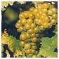 Muscat, vin d'Alsace