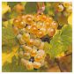 Pinot blanc vin d'Alsace